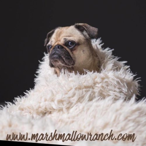 Pug wrapped in fuzzy blanket.