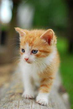 Yellow and white kitten