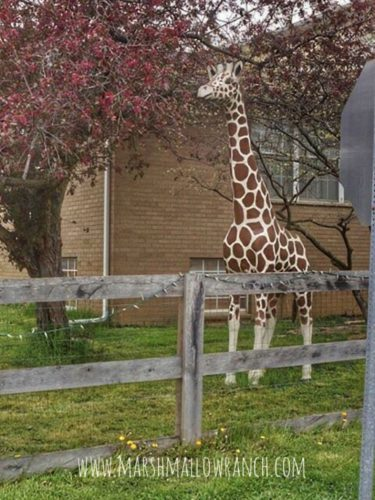 Cement giraffe in front yard