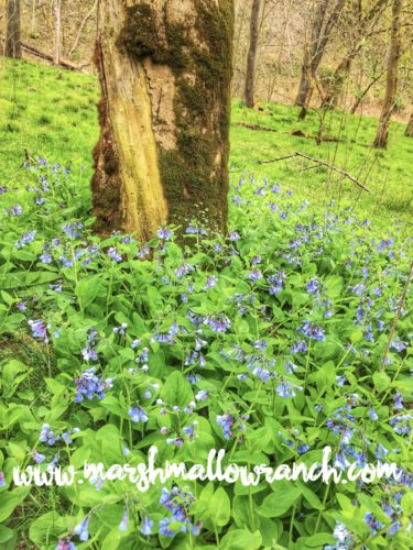 Blue flowers in the woods