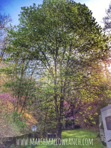 Cherry tree and redbud in the morning sun